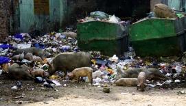 Schweine in Neu Delhi