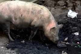 Schweine in Neu Delhi2