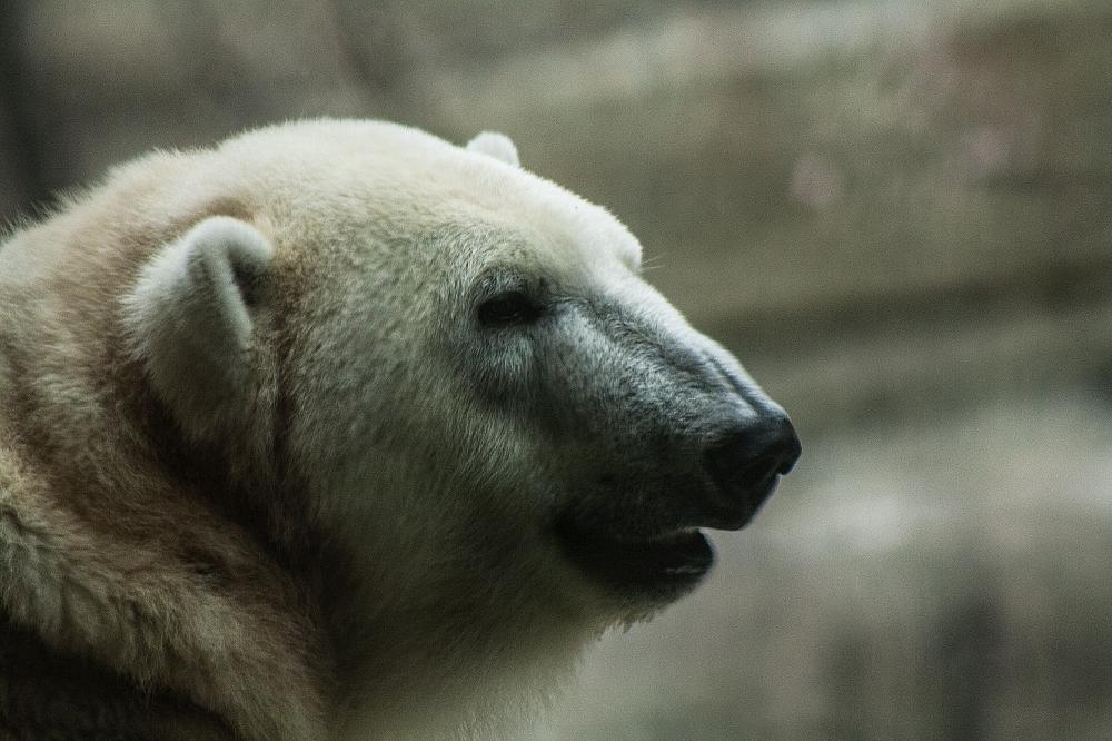 Eisbär2