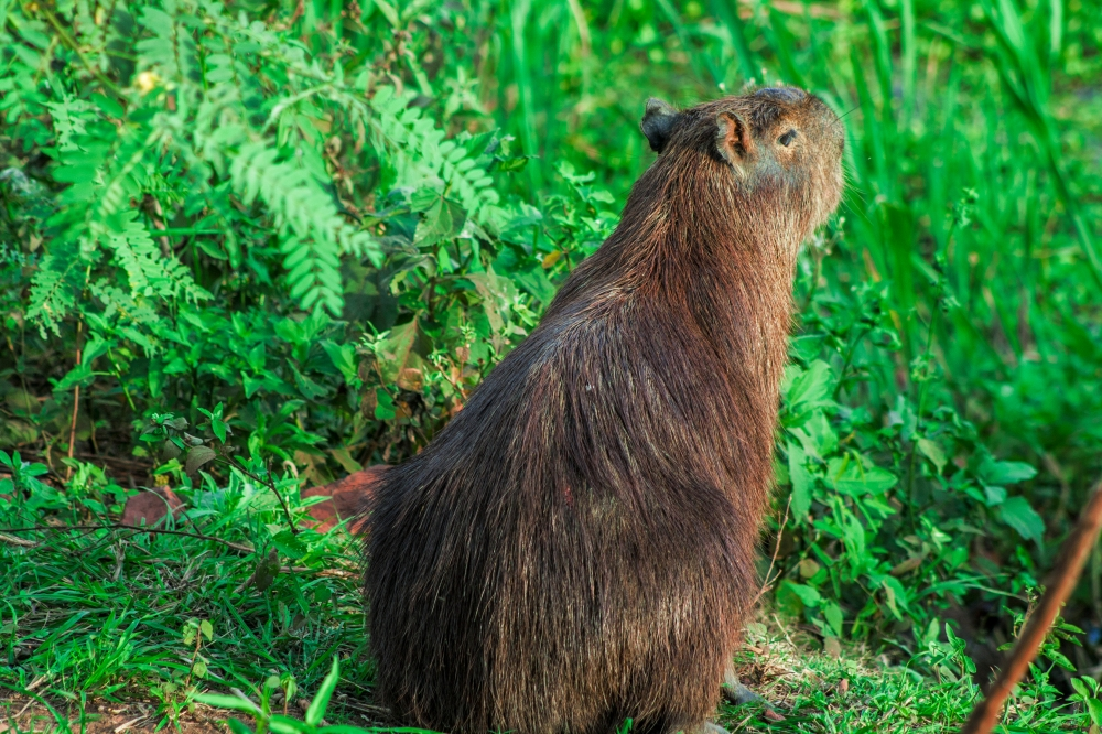 Panatanl-Capybara
