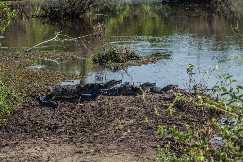 Pantanal_Krokodilhorde