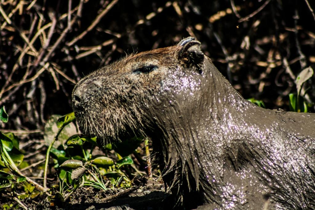 Capybara beim Schlammbad