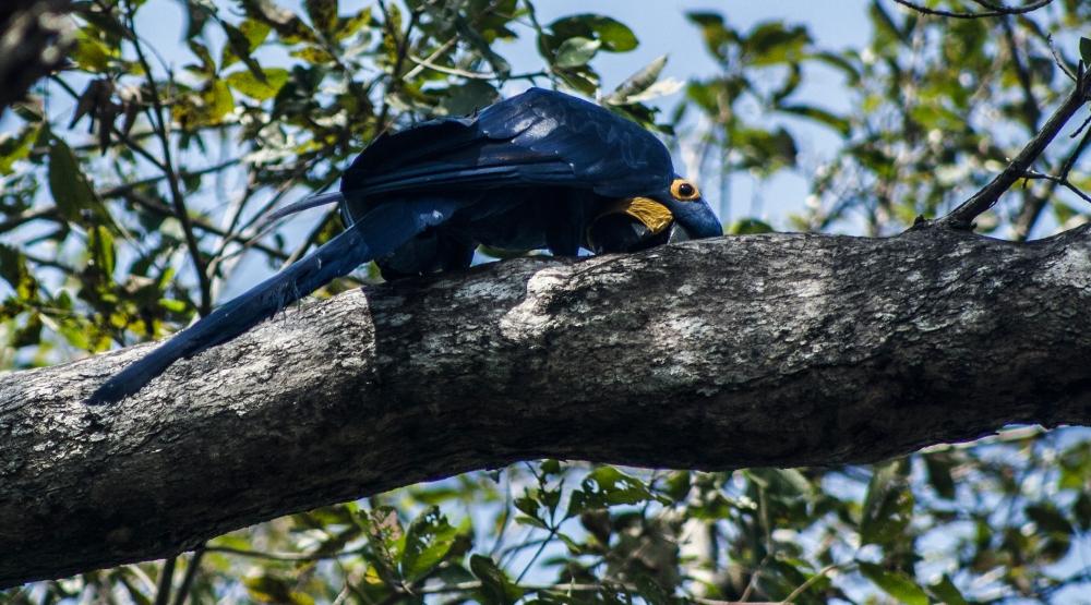 Pantanal-Hyazinth-Ara