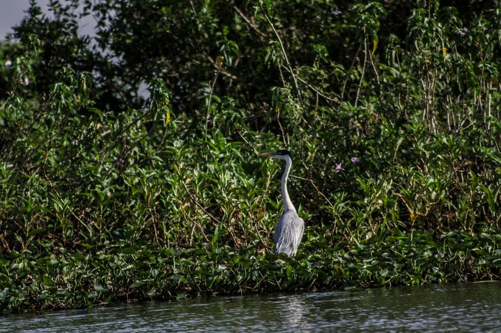 Pantanal_Jabiru