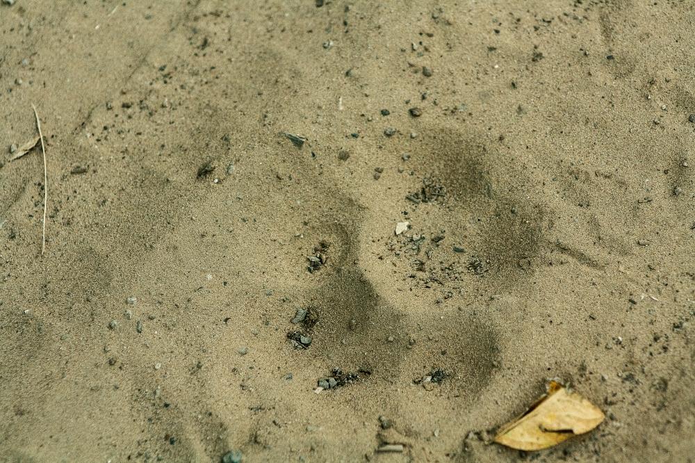 Pantanal_Jaguar-Abdruck